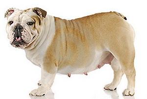 Ваша собака беременна