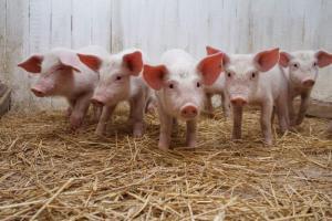 Как эффективно использовать БМВД для свиней?