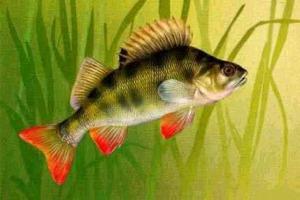 Окунь – особенности жизни рыбы.