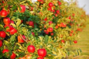 Плодовый сад на приусадебном участке
